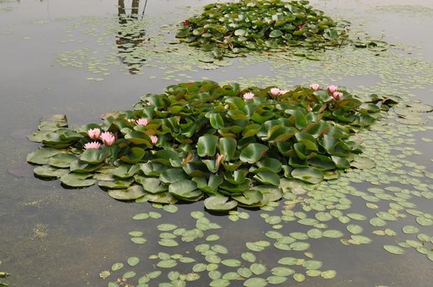 연못 한 곳에 모여 있는 연꽃의 모습