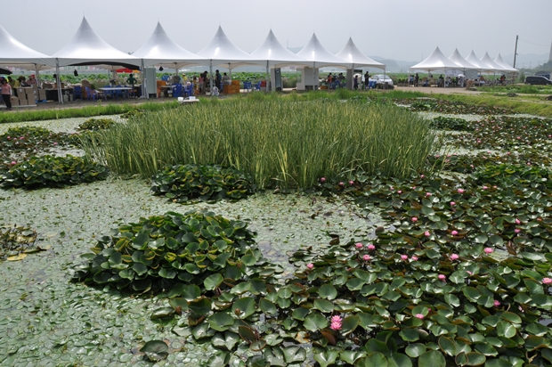 연꽃을 비롯한 여러 식물들이 자라고 있는 연못의 모습