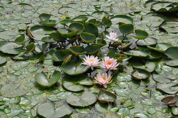 연못을 빽뺵히 치우고 있는 연잎과 연꽃의 모습