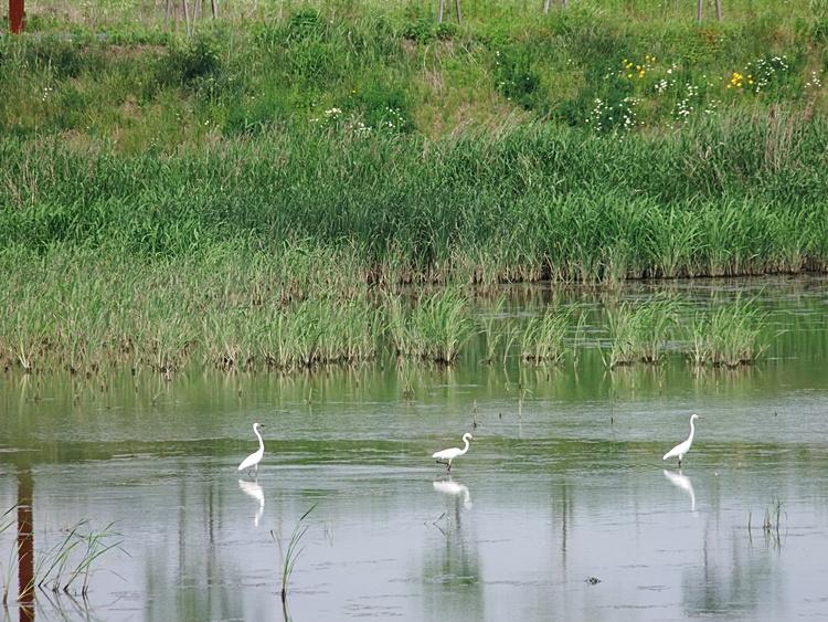 출판단지의 호숫가를 거닐고 있는 하얀 새들의 모습