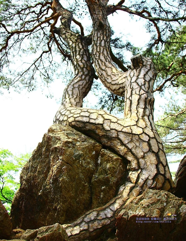 소요산 칼바위능선에 자리잡은 소나무