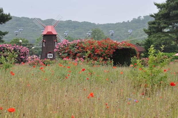 꽃양귀비밭