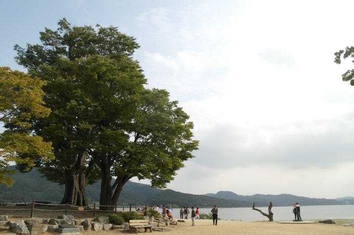 두물머리 느티나무