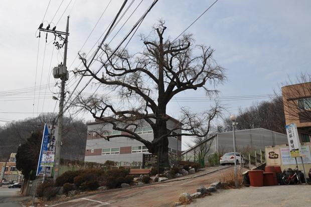은행나무 보호수