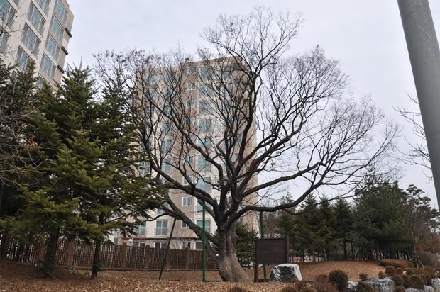 느티나무 보호수