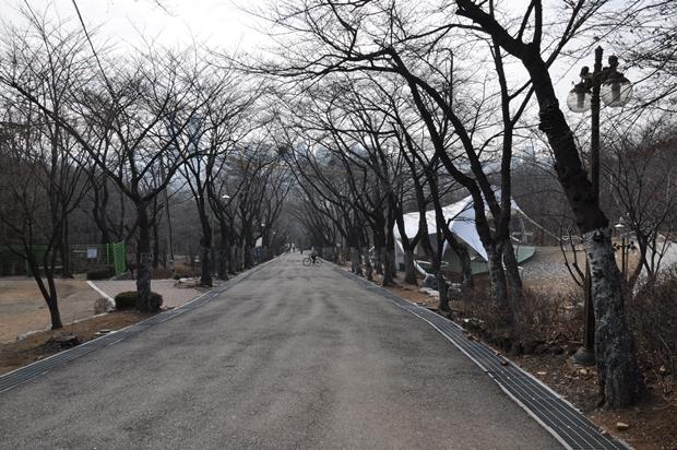 도당산 벚나무 가로수길