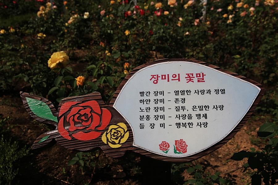 장미의 꽃말 빨간장미-열열한 사랑과 정열 하얀장미-존경노란장미-질투,은밀한 사랑 분홍장미-사랑을 맹세 들장미-행복한 사랑