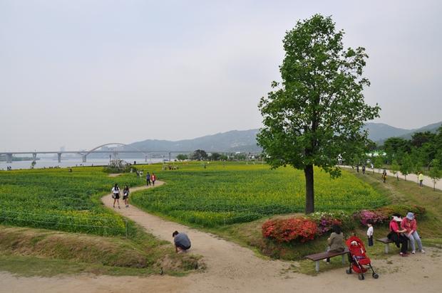 전망대에서 바라 본 유채꽃밭
