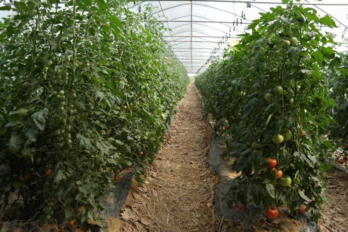 토마토 재배 하우스