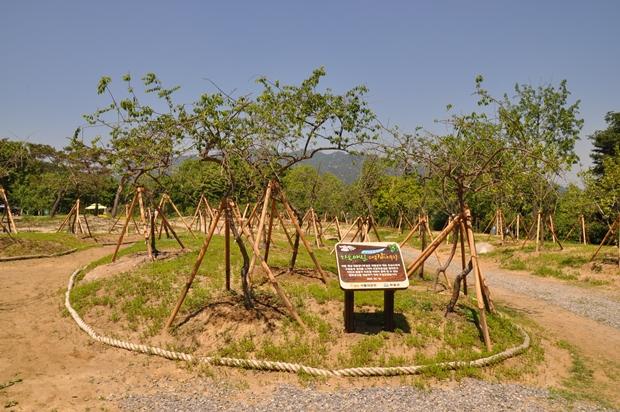 하동 매실 대봉 감나무길