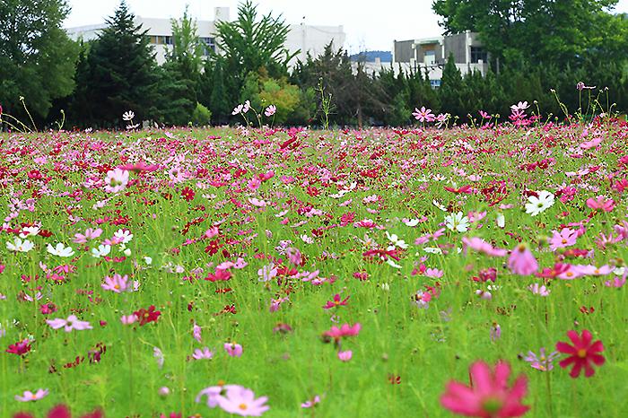 수원여행,코스모스 한들한들 피어있는 당수동 시민농장