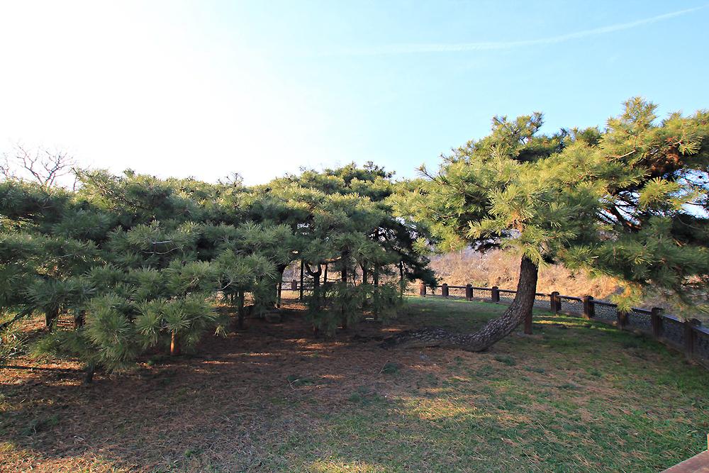 반룡송,천연기념물