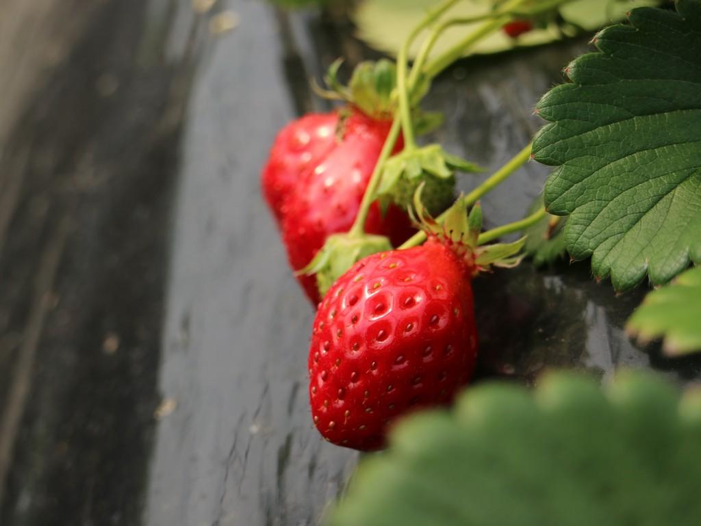 붉게 익은 딸기들