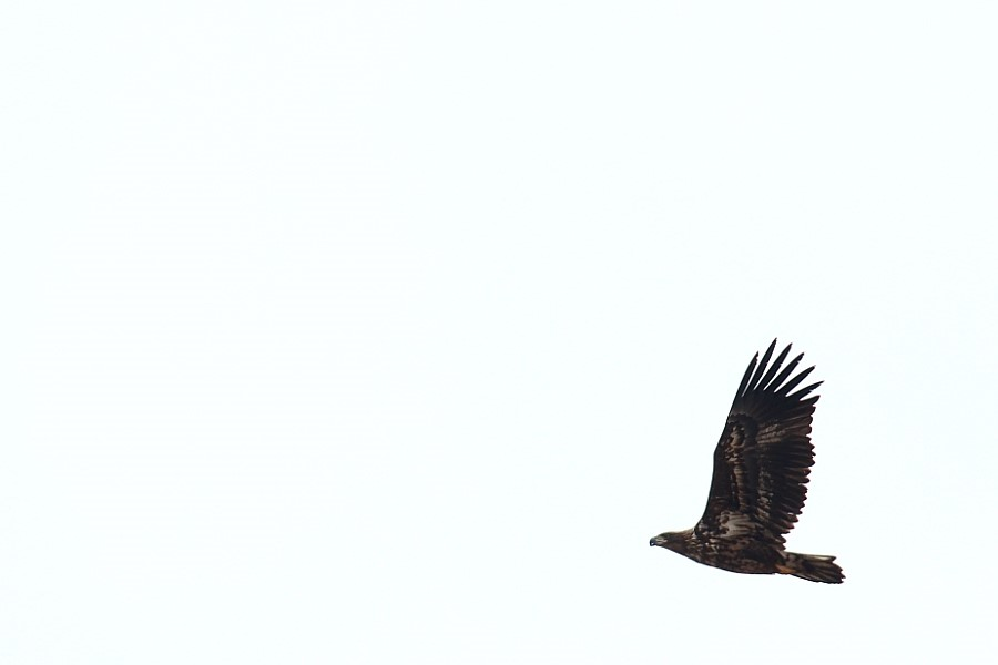파주 장단반도 독수리
