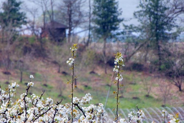 대종농원배밭011