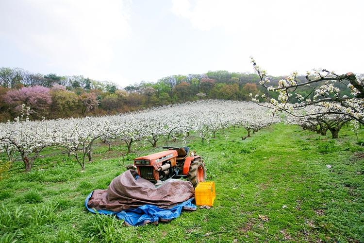 대종농원배밭020