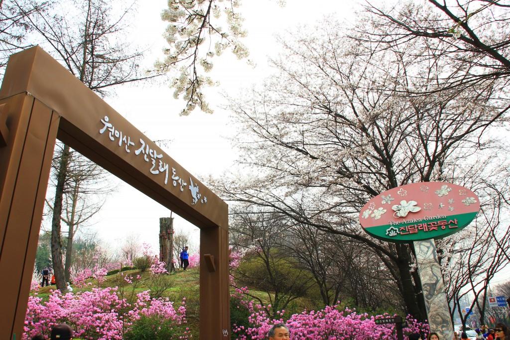 부천원미산진달래축제 , 강남역치맥 009