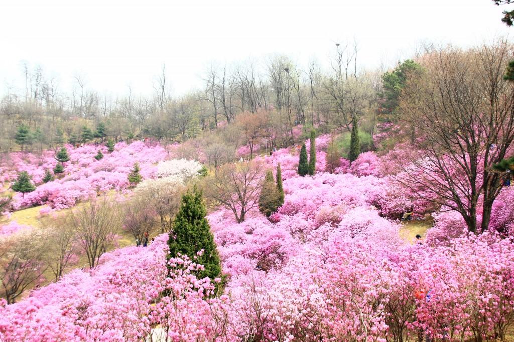 부천원미산진달래축제 , 강남역치맥 028