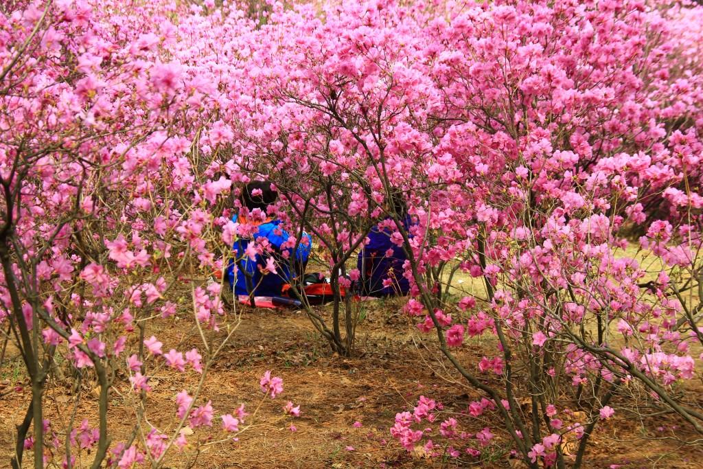 부천원미산진달래축제 , 강남역치맥 037