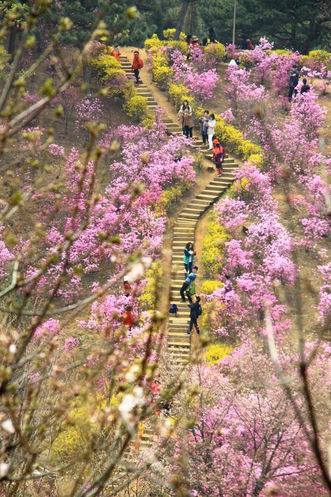 부천원미산진달래축제 , 강남역치맥 053
