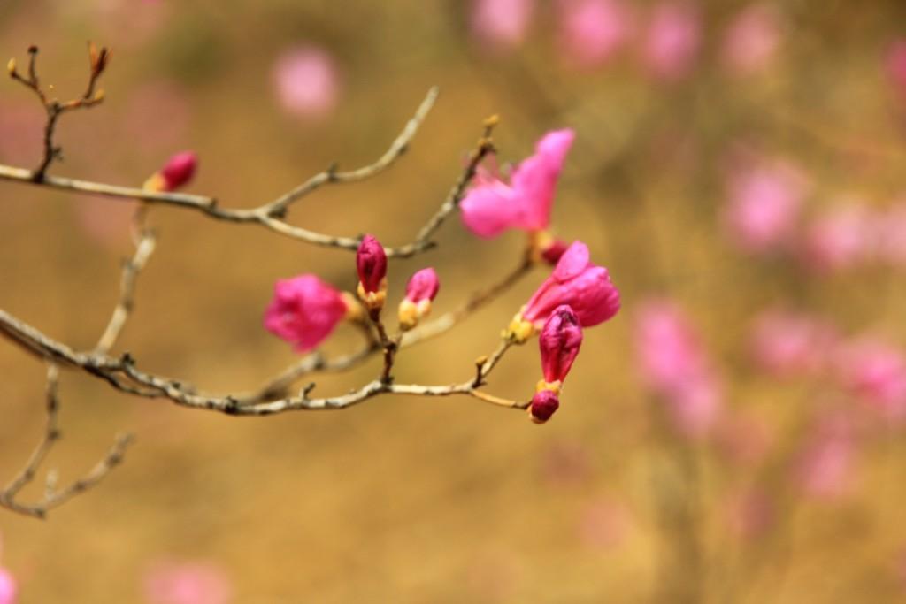 부천원미산진달래축제 , 강남역치맥 069