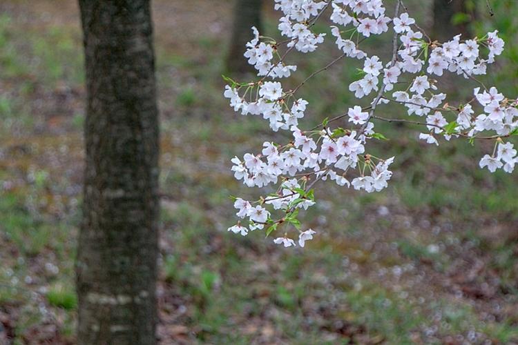 설봉공원벚꽃나들이018
