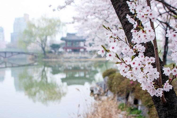 안흥지벚꽃나들이002