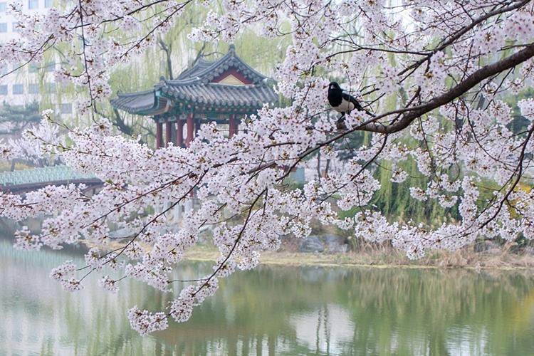 안흥지벚꽃나들이008