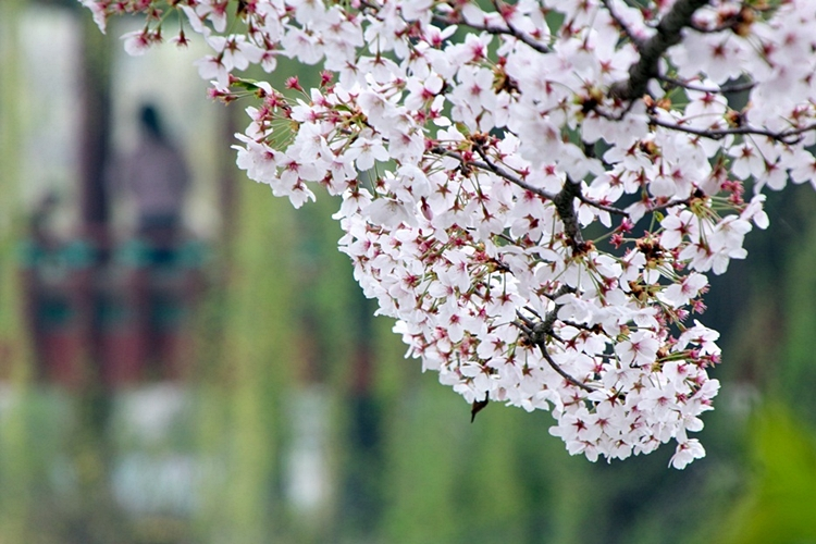 안흥지벚꽃나들이009
