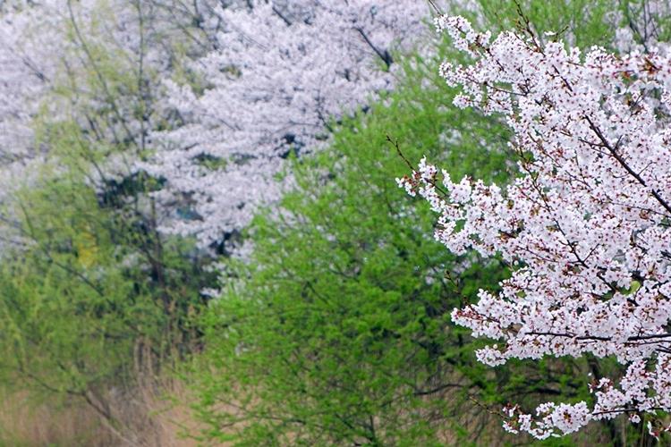 안흥지벚꽃나들이015