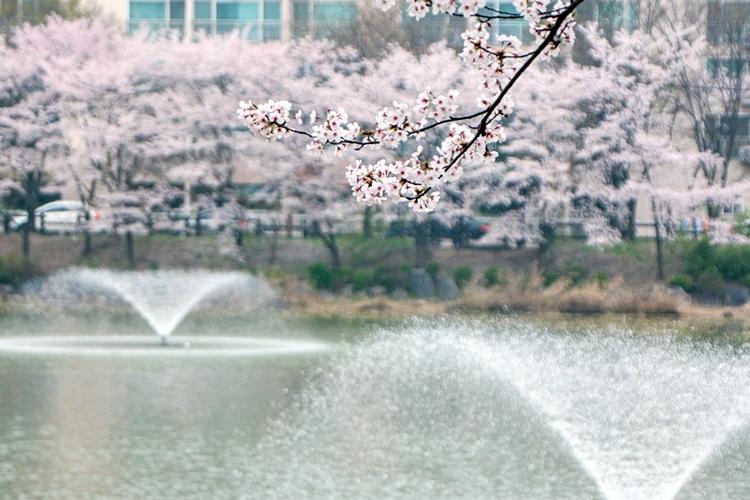 안흥지벚꽃나들이023
