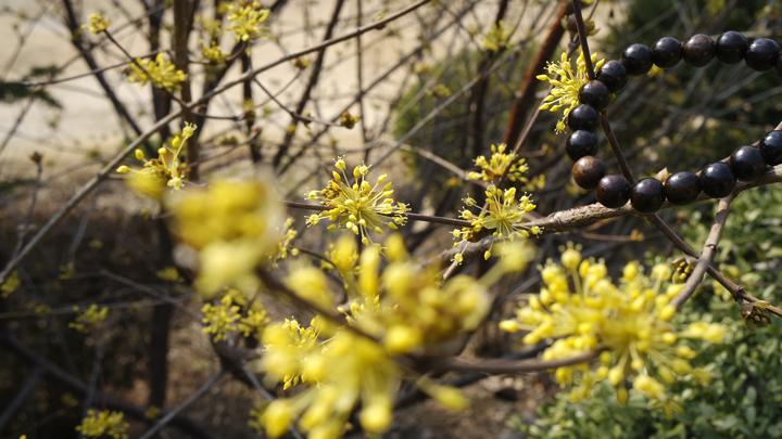봉선사 산수유꽃