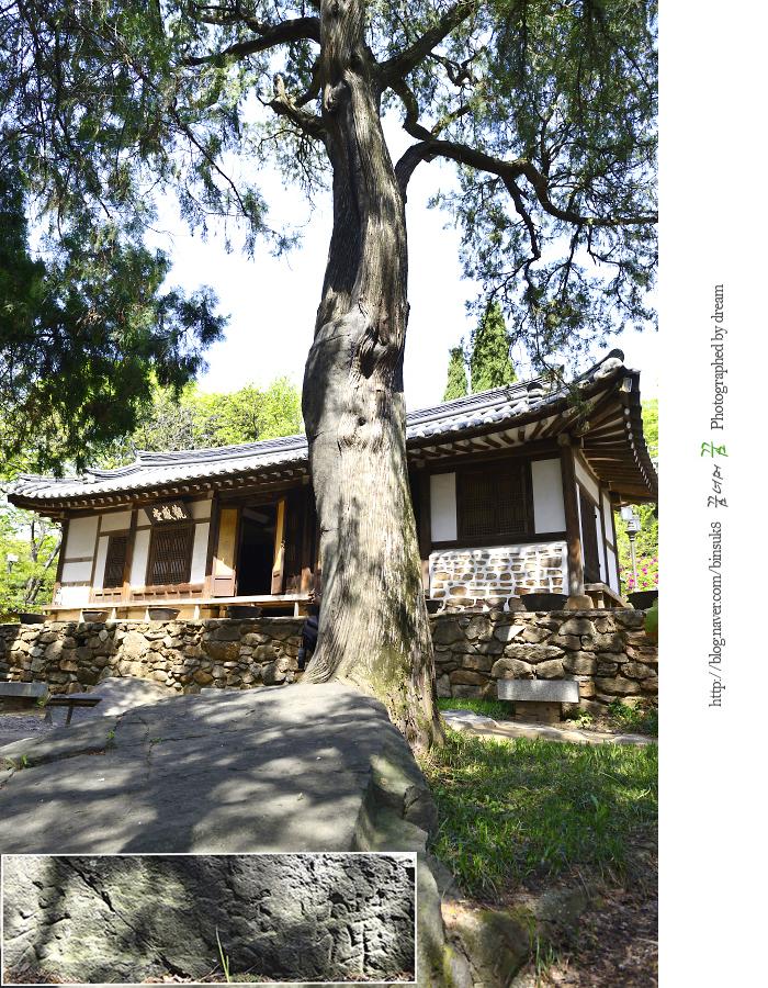 400년 된 측백나무