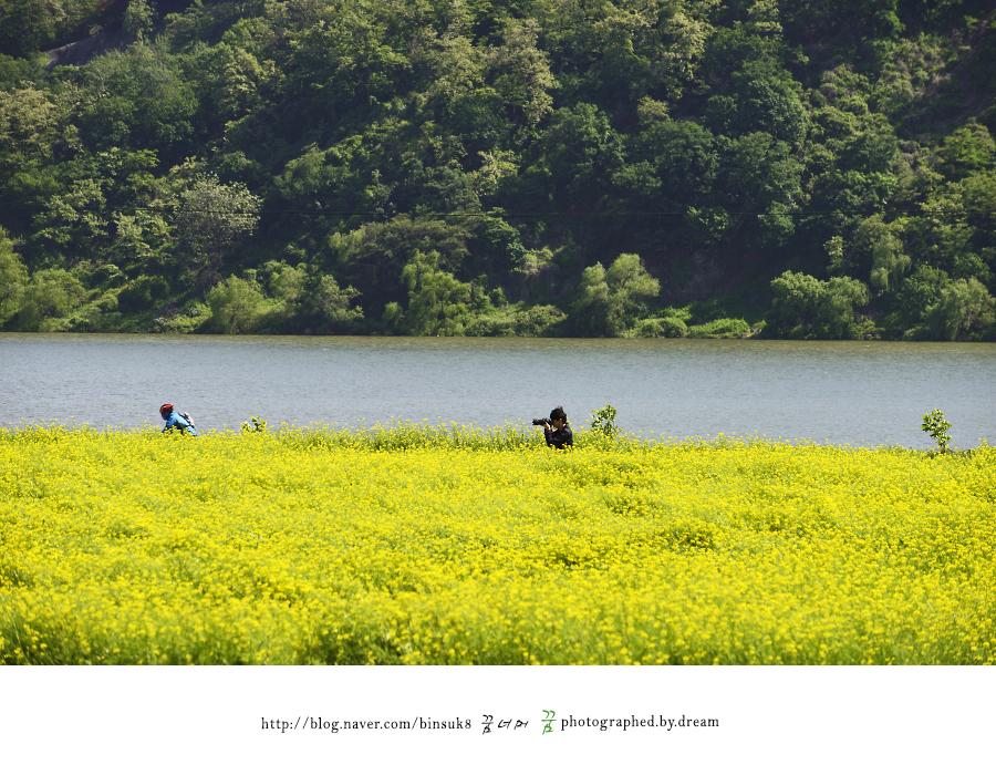 유채꽃 밭에서 사진을 찍는 사람들