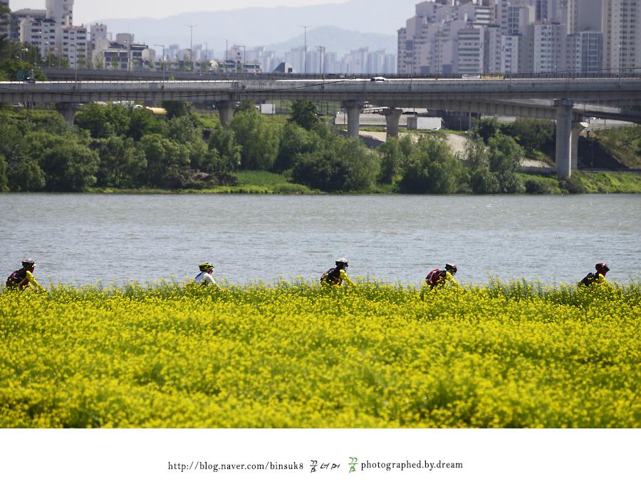 유채꽃 밭 옆을 자전거 타고 지나가는 사람들