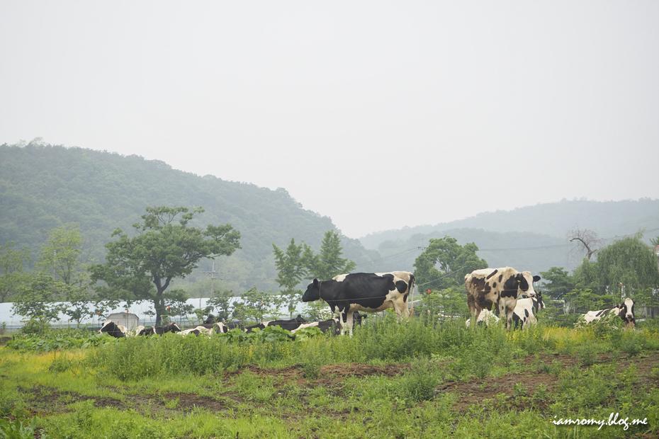농가의 젖소들