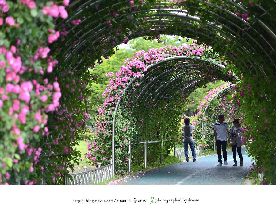 장미 터널을 지나는 사람들