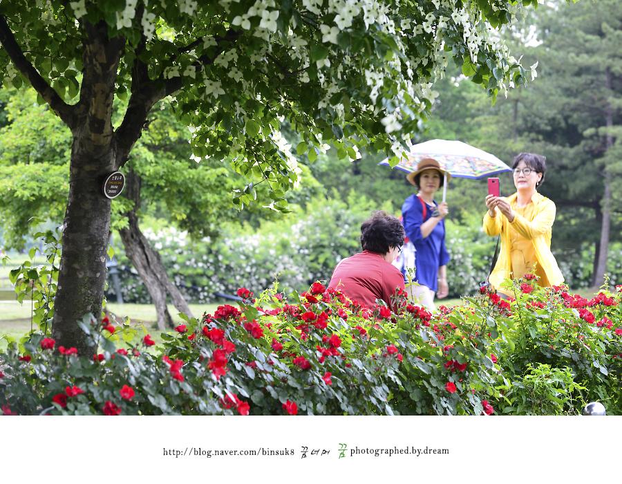 장미를 배경으로 사진을 찍는 사람들
