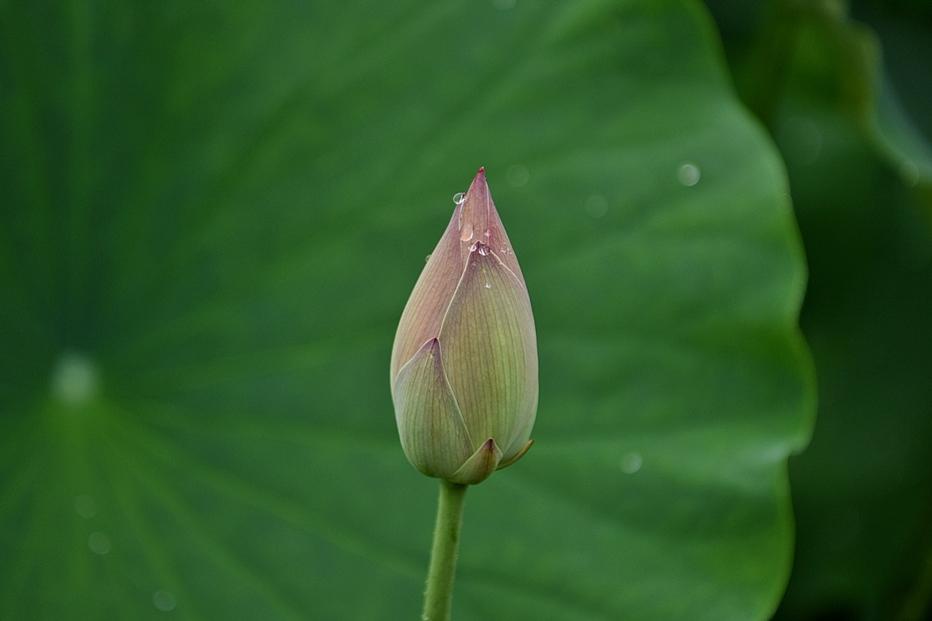 봉선사연꽃4