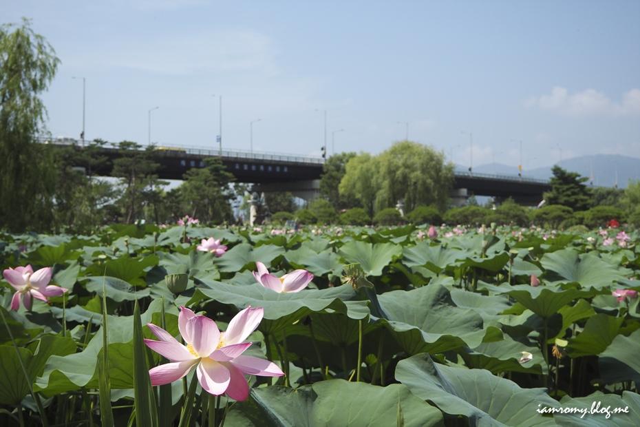 연못을 가득 채운 연잎과 연꽃