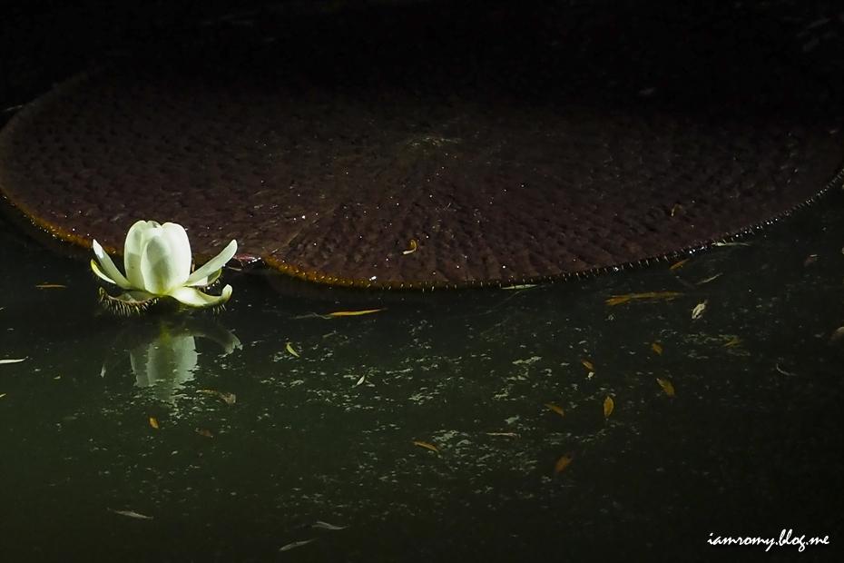 큰 연잎과 연꽃