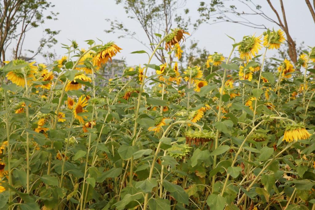 바람을 이기지 못하고 고개 숙인 해바라기 꽃들