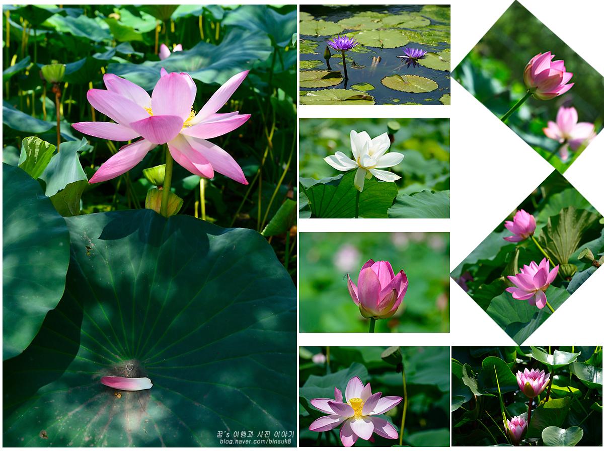 다양한 연꽃 사진들