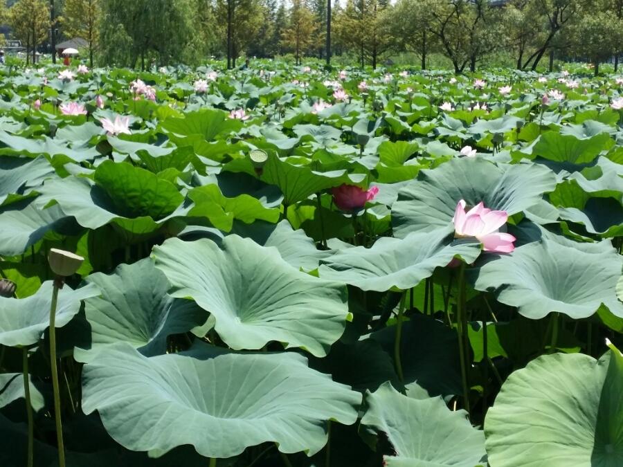 연못을 가득 채운 연잎와 연꽃