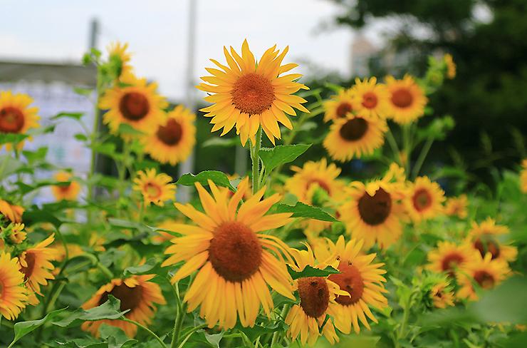 해바라기 꽃밭