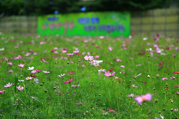 코스모스 꽃밭