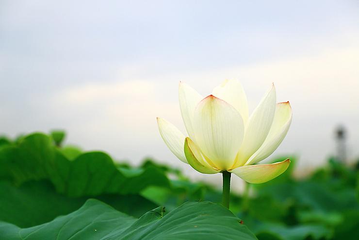 하얀 연꽃