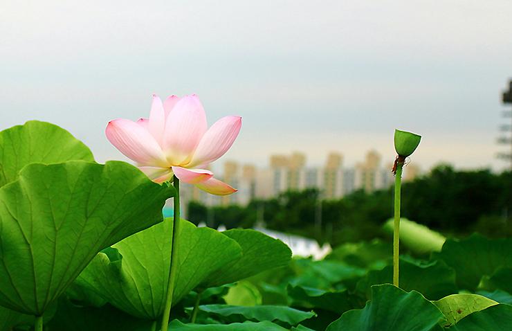 분홍 연꽃