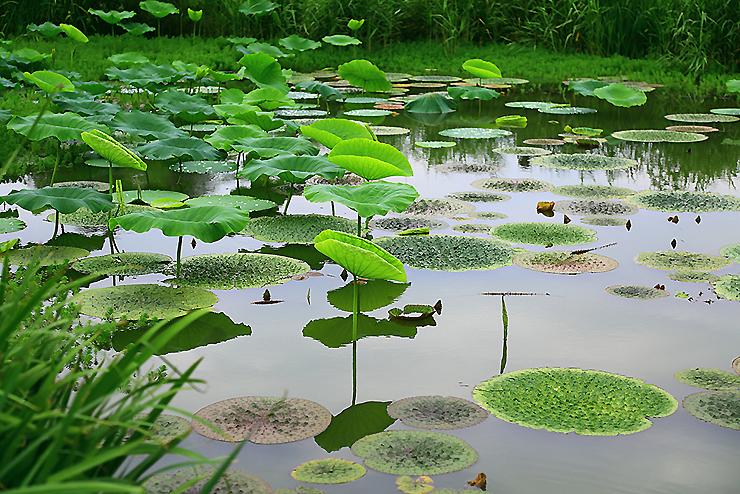 연못에 자라있는 연잎들