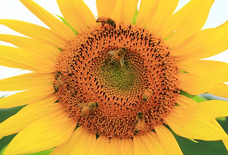 해바라기에서 꿀을 채취하는 꿀벌들